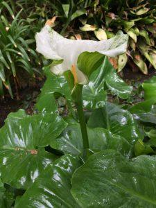 Araceae_Zantedeschia_aethiopica