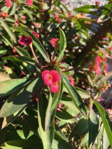 Euphorbiaceae_Euphorbia_milii