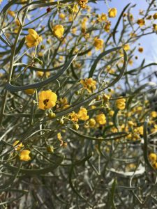 Fabaceae_Cassia_phyllodinea