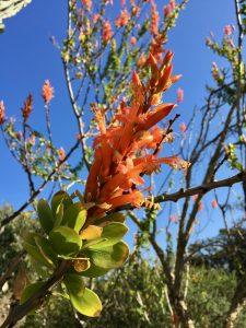 Fouqieriaceae_Fouquieria_formosa
