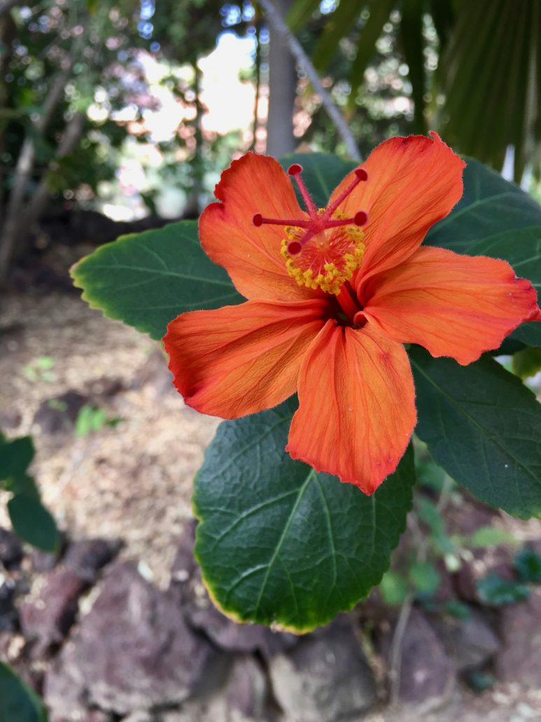 Malvaceae Hibiscus Kokio saintjohnianus