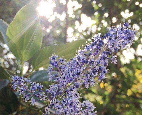 Ceanothus arboreus - Catalina ceanothus