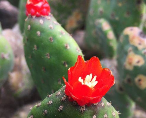 Opuntia quitensis- Red button cactus