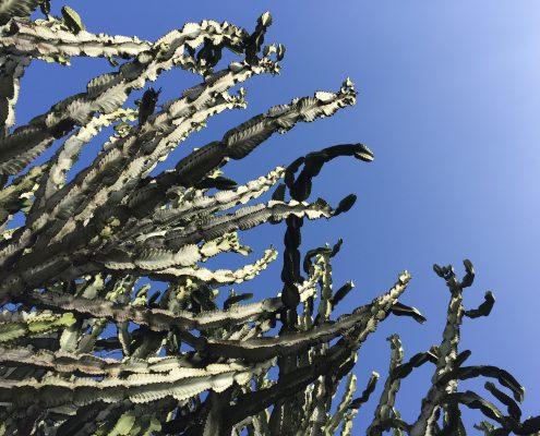 Euphorbia ingens - Candelabra tree