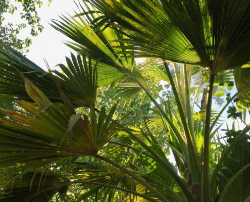 Pritchardia palm