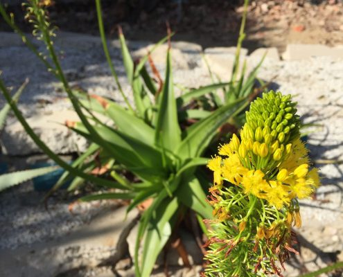 Bulbine natalensis - Rooiwortel