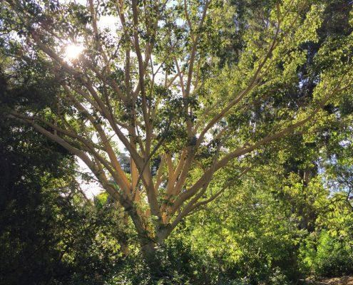 Ficus petiolaris - Rock fig