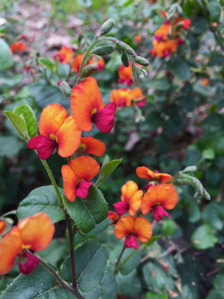 Chorizema 'Bush Flame'