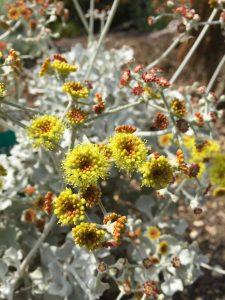 Eriogonum crocatum