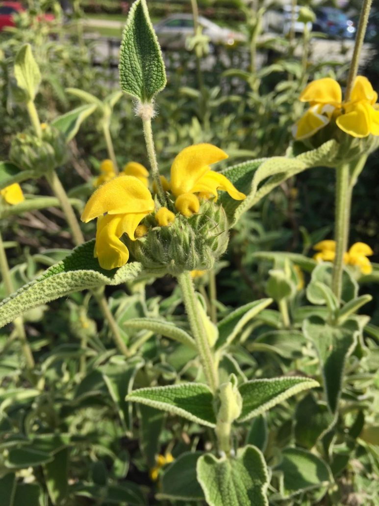 Phlomos fruticosa