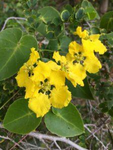 Bauhinia natalensis