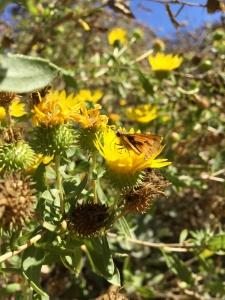 Great valley gumplant (Grindelia camporum) - California Natives