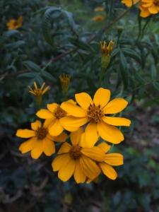 Mexican marigold (Tagetes lemonii) - Pavilion Garden