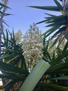 Giant spineless yucca (Yucca gigantea) - Desert Garden