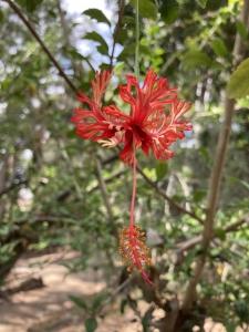 Hibiscus_schizopetalus