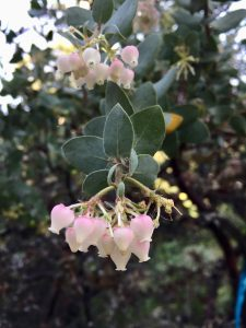 Ericaceae_Arctostaphylos_'Lester Rowntree'