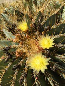 Echinocactus grusonii- Golden barrel cactus