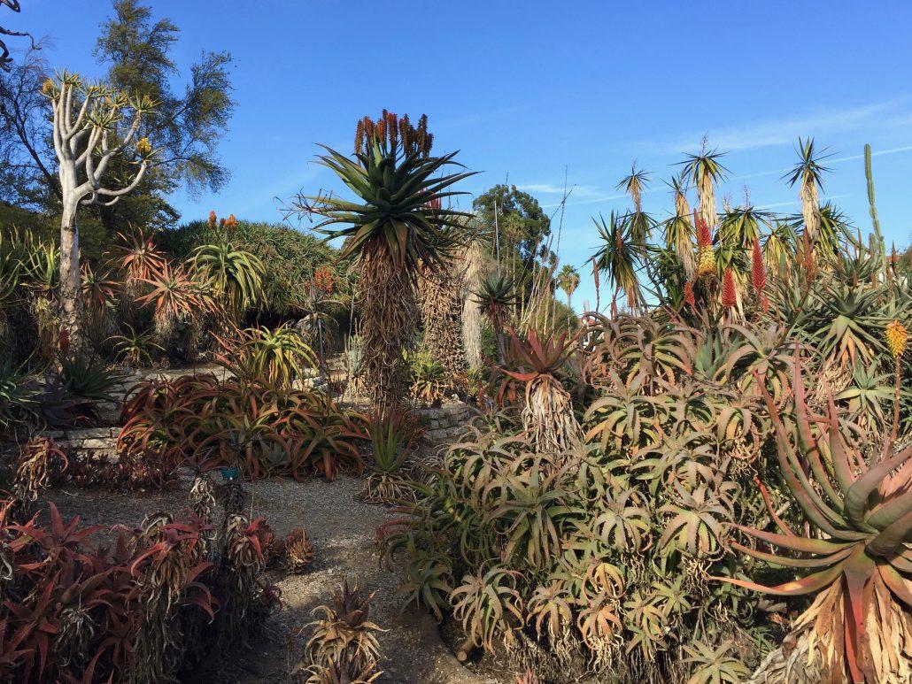 Desert Garden – Mildred E. Mathias Botanical Garden