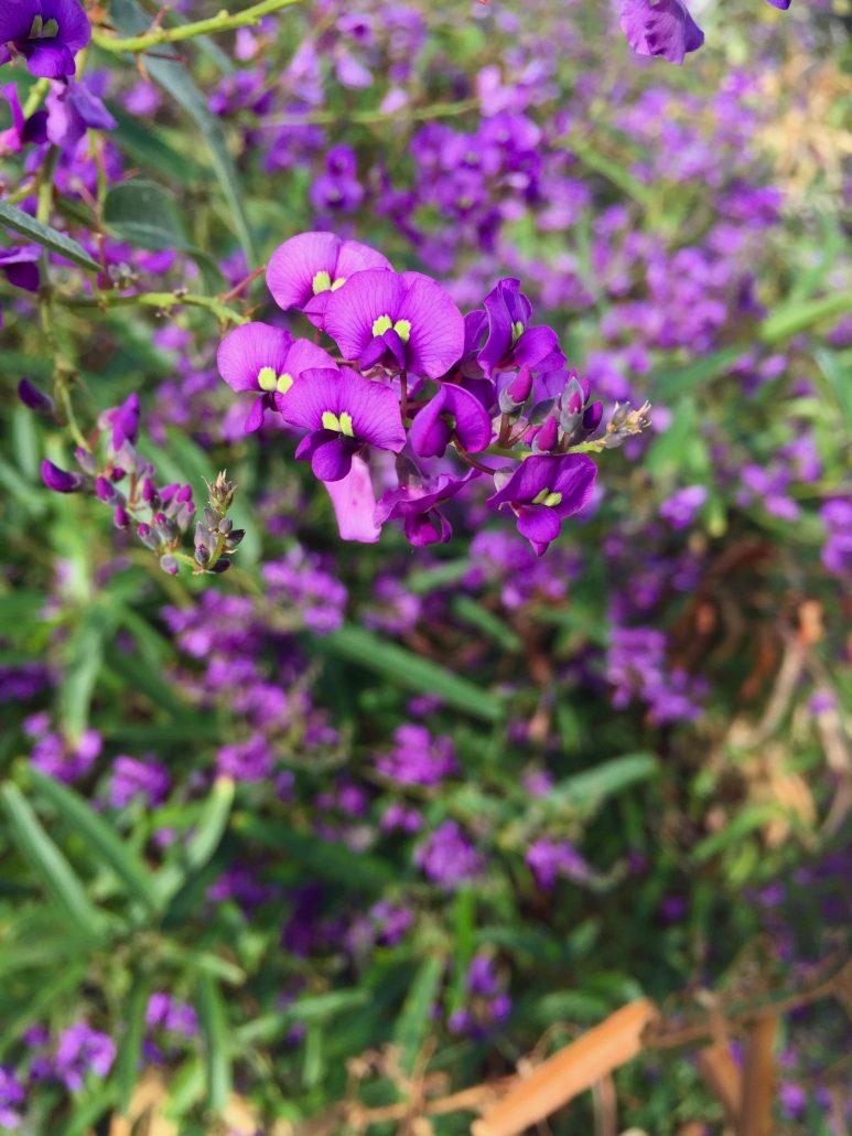 Hardenbergia violacea 'Meema' - Meema purple vine lilac
