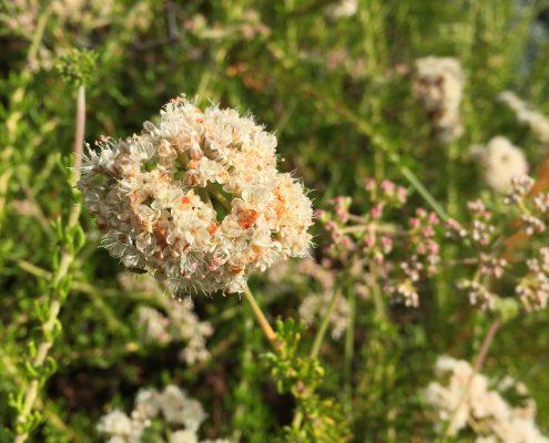Eriogonum fasciculatum - California buckwheat
