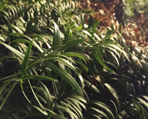 Araucaria bidwillii - Bunya bunya