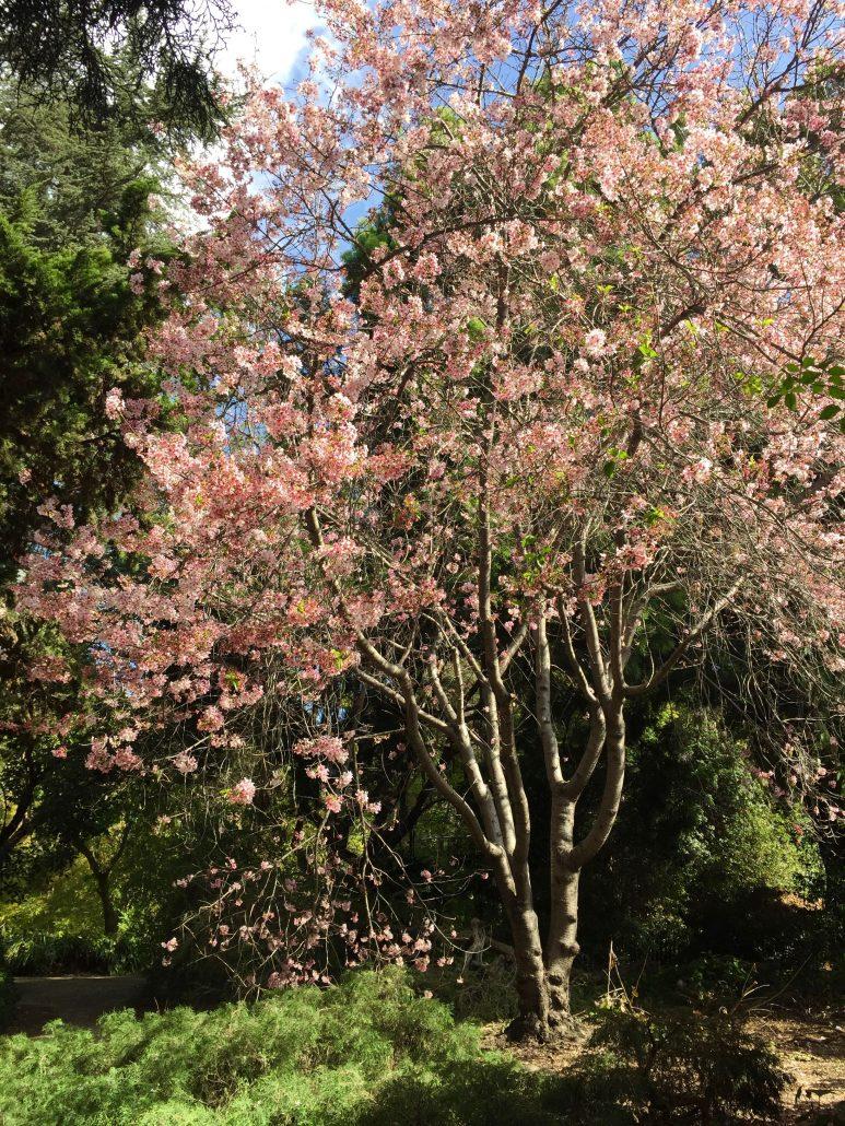 Prunus serrulata 'Pink Cloud'