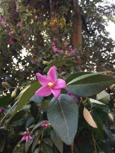 Lagunaria pattersonii