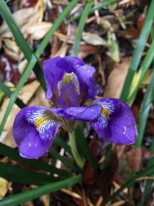Algerian iris (Iris unguicularis) - Patio Garden