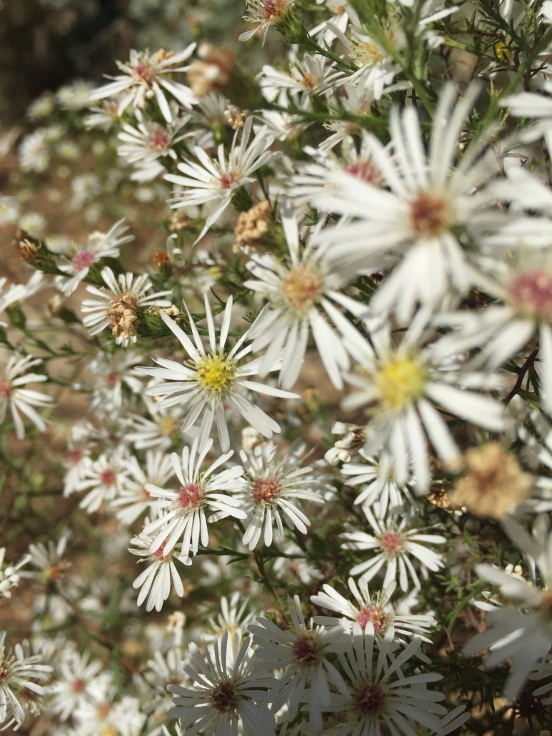 Heath aster (Aster ericoides 'Monte Cassino')