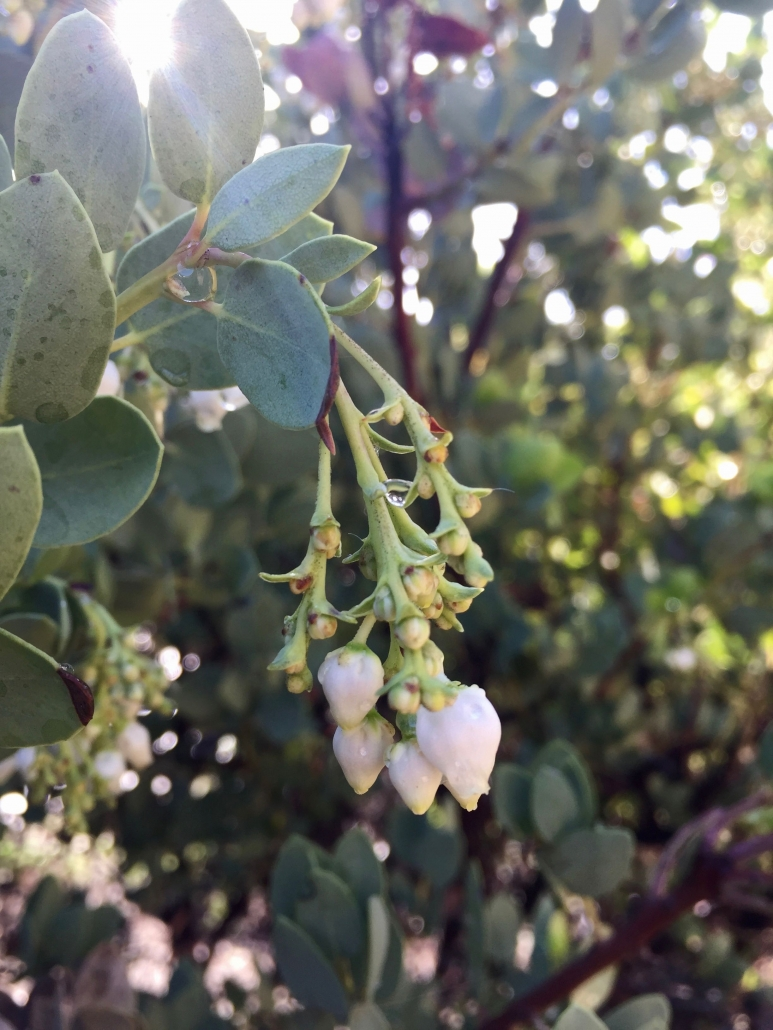 Bigberry manzanita (Arctostaphylos glauca) - Mediterranean Ecosystem