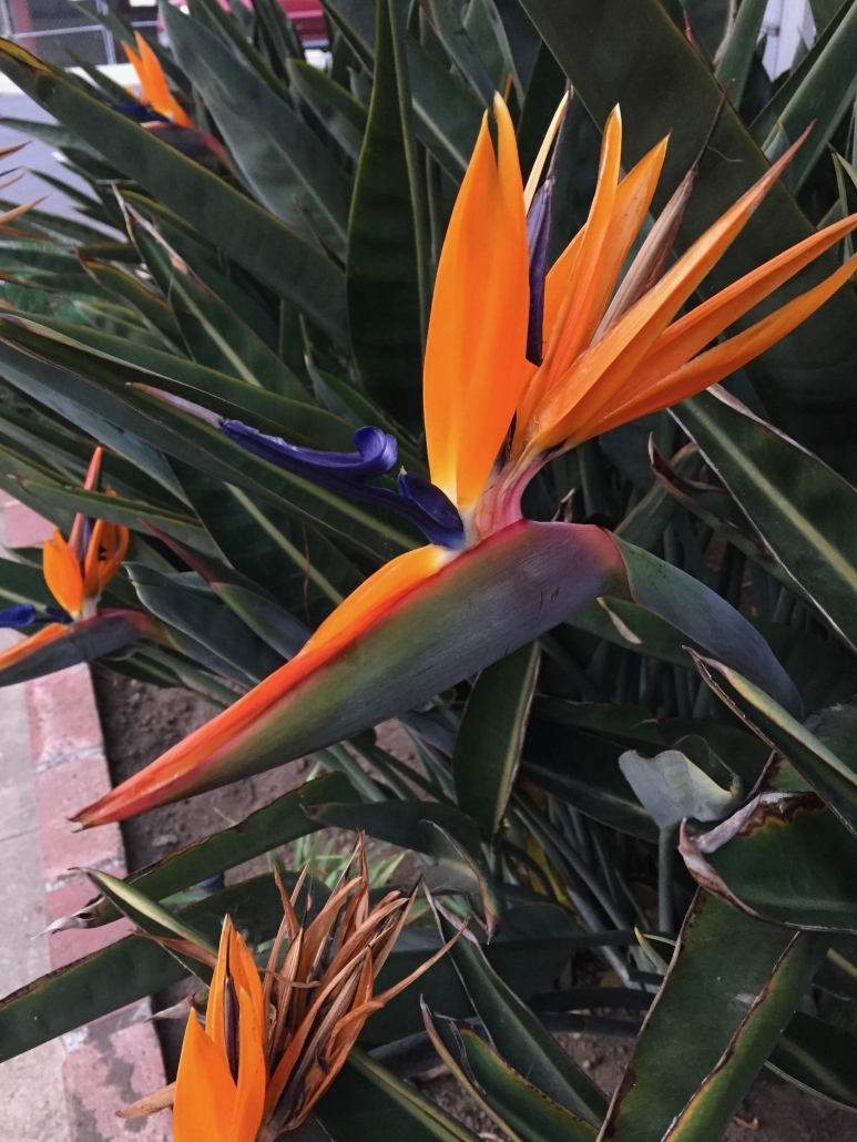 Bird of Paradise (Strelitzia reginae) - Near the driveway