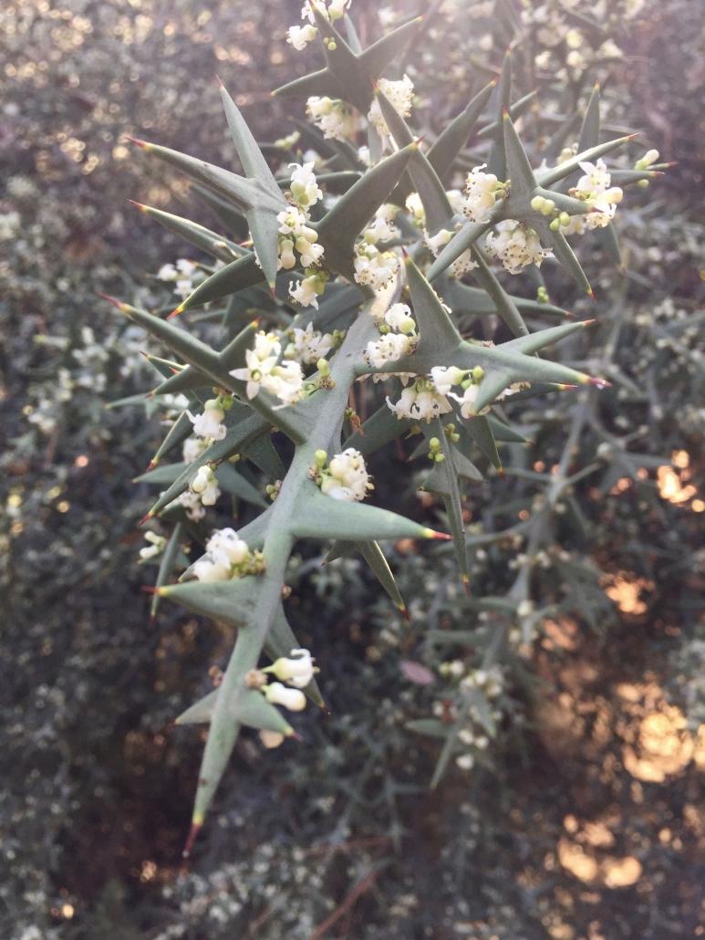 Colletia paradoxa_Anchor plant