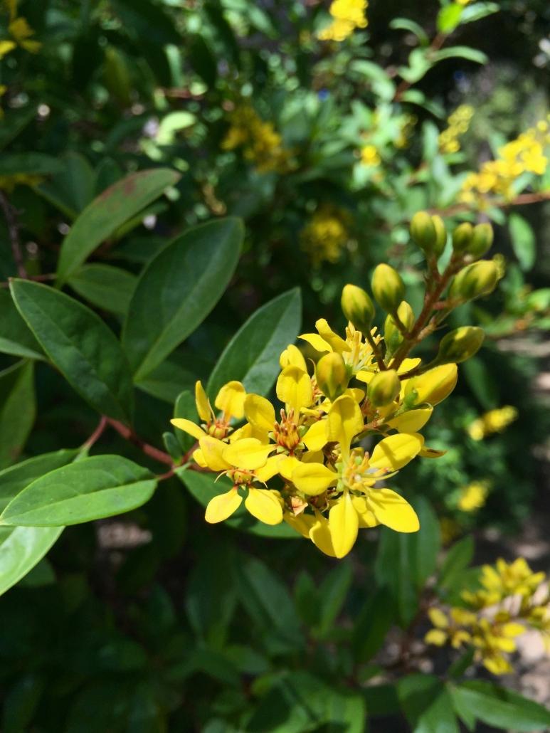 Golden thryallis (Galphimia glauca) -