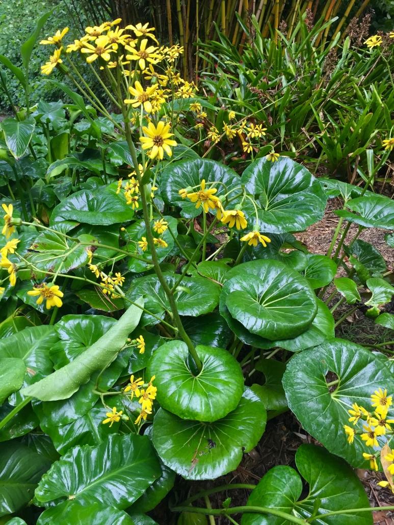 Giant leopard plant (Farfugium japonicum 'Giganteum') - The Stream