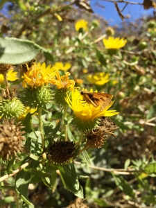 Great valley gumplant (Grindelia camporum) - California Natives