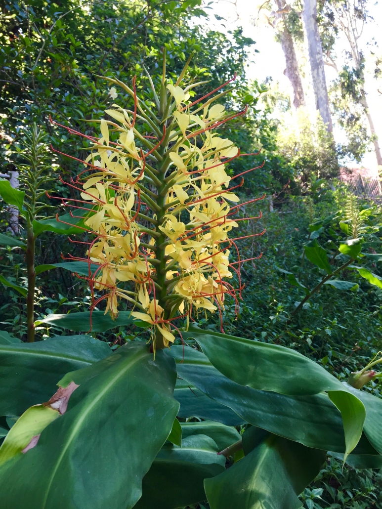 Kahili ginger (Hedychium gardnerianum) - Main road near Conifers