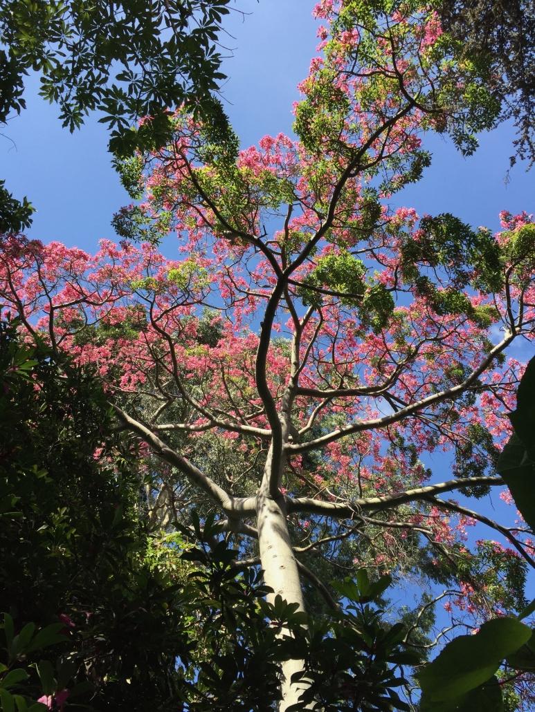 Silk floss tree (Ceiba speciosa) - Subtropical Woodlands
