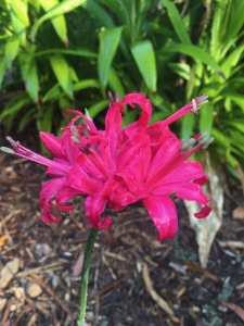 "Large pink Nerine (Nerine bowdenii) - ""Lilies"""