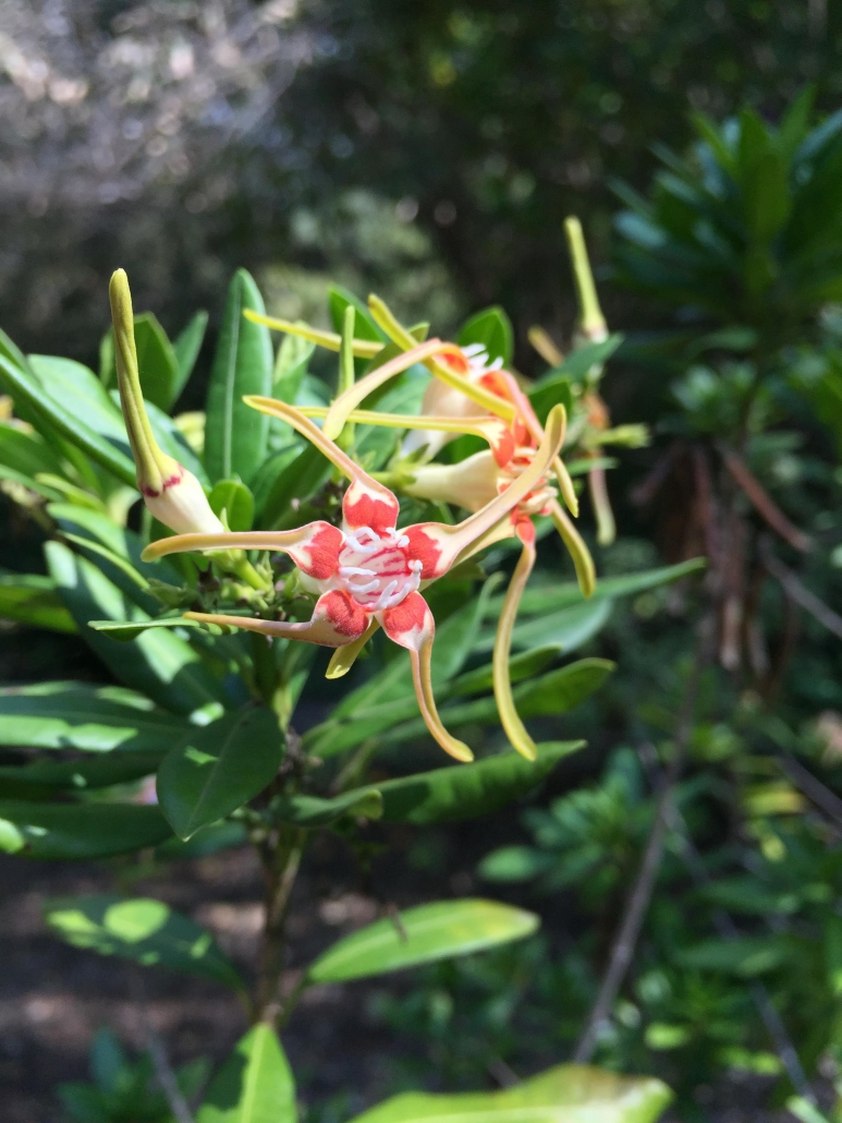 Poison rope (Stophanthus speciosus) - Subtropical Woodlands