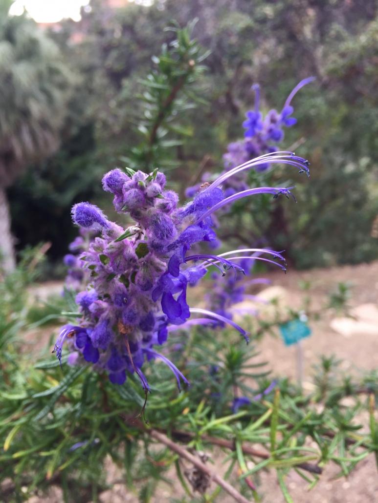Woolly Bluecurls (Trichostema lanatum) - California Natives