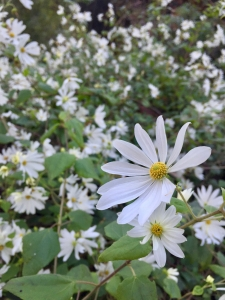 Yucatan daisy (Montanoa atriplicifolia) - Subtropical Woodlands