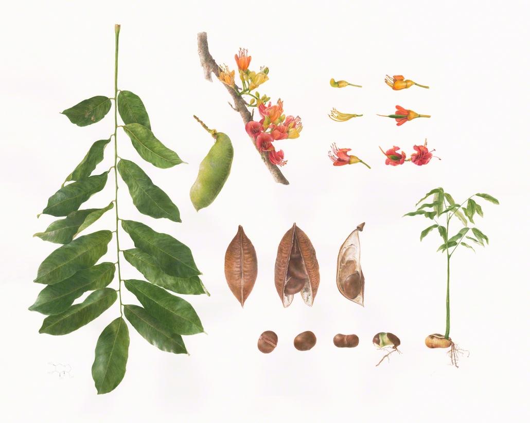 dbShaw-Castanospermum-australe