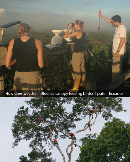 How does weather influence canopy feeding birds? Tiputini, Ecuador