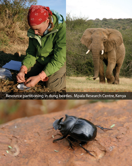 Resource partitioning in dung beetles. Mpala Research Centre, Kenya