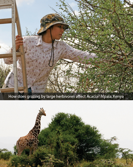 How does grazing by large herbivores affect Acacia? Mpala, Kenya