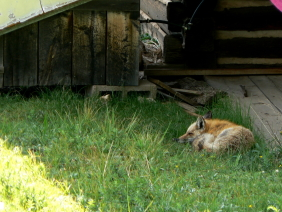 A Marmot's Life – The yellow-bellied marmots