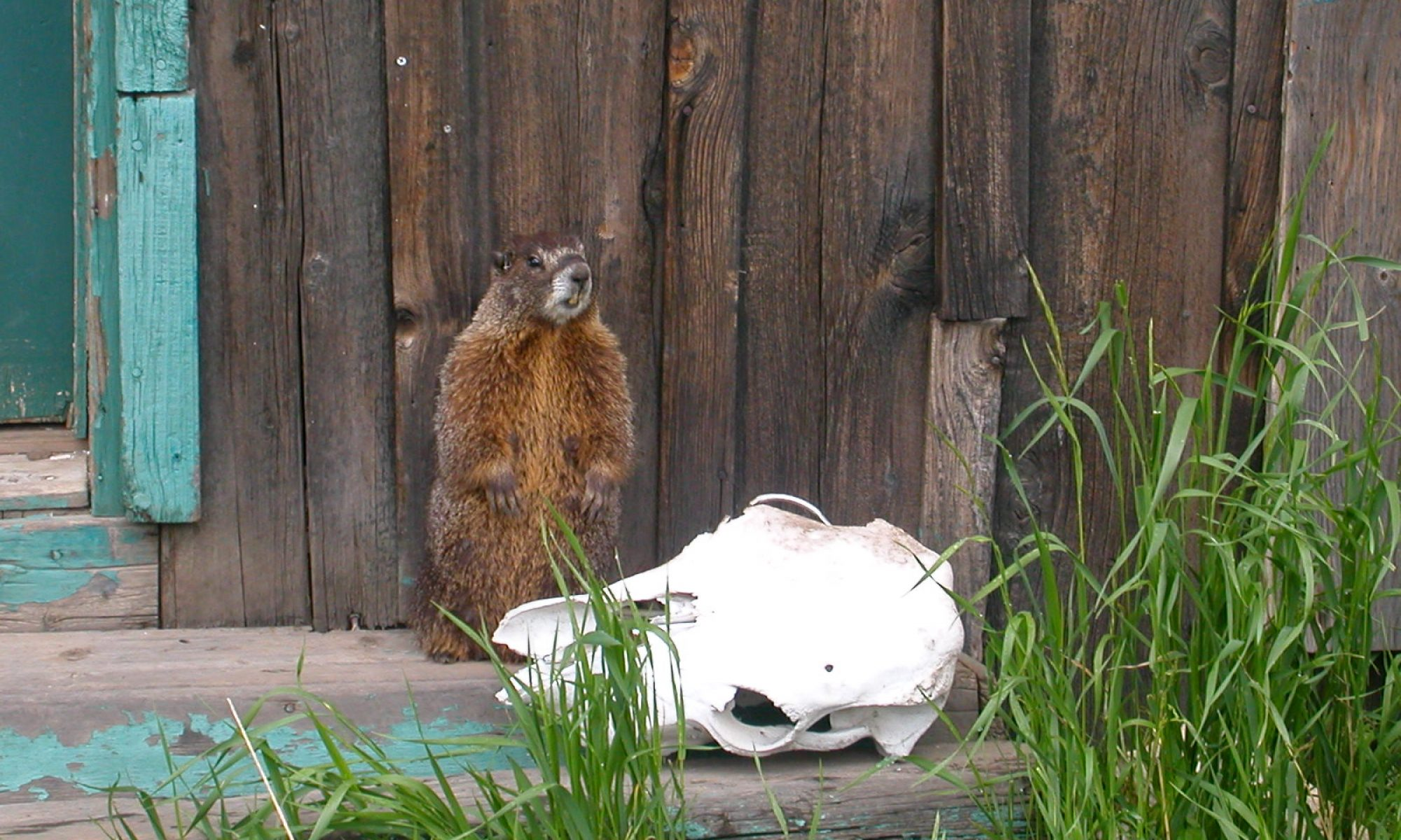 The yellow-bellied marmots