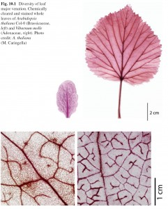 LeafHydr1_fig