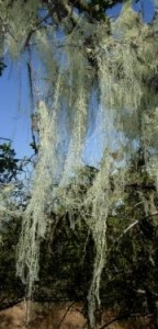 ramalina_on_oak