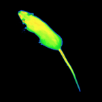 Mouse Infrared thermography image